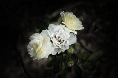 Rose Flowers in het ontwerp van natuurlijke donkere tonen Het beeld is het art. stock foto