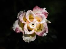 Rose Flowers in het ontwerp van natuurlijke donkere tonen Het beeld is het art. stock afbeelding