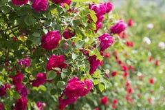 Rose Flowers in Huishouden Royalty-vrije Stock Afbeeldingen