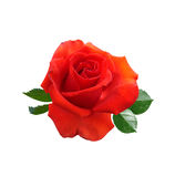 Rose flowers isolated. On white background royalty free stock photography