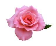 Rose flowers isolated. On white background stock image