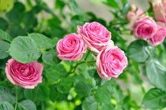 Rose Flowers In Nature rosada Imagenes de archivo