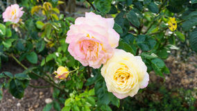 Rose flowers nature roses garden Royalty Free Stock Photography