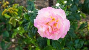 Rose flowers nature roses garden Stock Photo