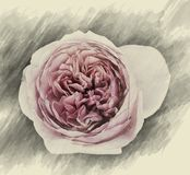 Rose Flowers no projeto de tons escuros naturais Fotos de Stock