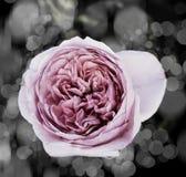 Rose Flowers no projeto de tons escuros naturais Imagem de Stock
