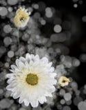 Rose Flowers no projeto de tons escuros naturais Fotos de Stock Royalty Free