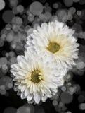 Rose Flowers no projeto de tons escuros naturais Foto de Stock