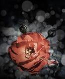 Rose Flowers no projeto de tons escuros naturais Foto de Stock Royalty Free