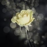 Rose Flowers no projeto de tons escuros naturais Fotografia de Stock
