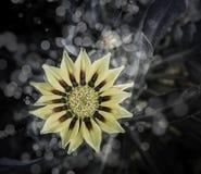 Rose Flowers no projeto de tons escuros naturais Fotografia de Stock Royalty Free