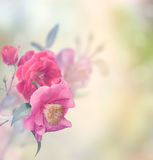 Rose Flowers Stock Photo
