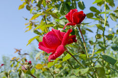 The rose flowers a scarlet garden plant Stock Image