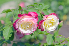 Rose flowers varieties Double Delight. Two-tone rose in the garden closeup Stock Image
