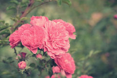 Rose flowers Royalty Free Stock Images