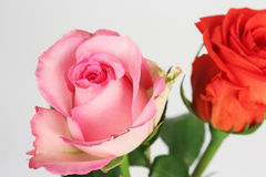 Rose flowers on the white background Stock Photos