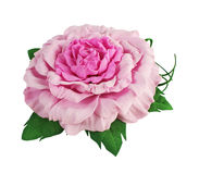 Rose from foamirana Royalty Free Stock Photo