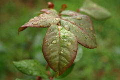 Rose Foliage. Rain droplets on green rose foliage Royalty Free Stock Photos