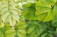 Rose foliage Stock Photography