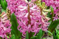 Rose foncé de jacinthe fleurissante Asparagaceae de famille image libre de droits
