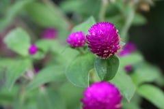 Rose-foncé de la fleur de globosa de Gomphrena sur l'arbre vert photographie stock libre de droits