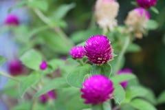 Rose-foncé de la fleur de globosa de Gomphrena sur l'arbre vert photos stock