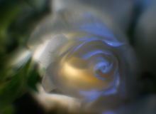 Rose : fond doux Images libres de droits