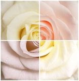 Rose in four colors. (created by Photoshop stock photo