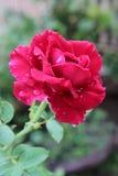 Rose fraîche à l'arrière-plan de jardin Photos libres de droits