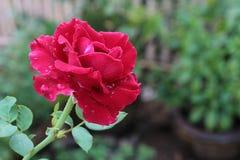 Rose fraîche à l'arrière-plan de jardin Photo libre de droits