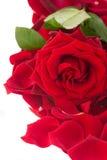 Rose fraîche de rouge avec la frontière de pétales Photo libre de droits