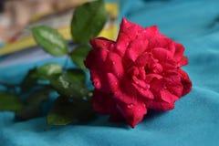 Rose fraîche de rouge sur le bleu Photographie stock