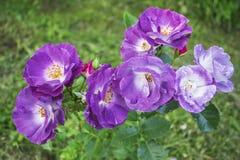 Rose fragranced deliziose di floribunda Immagini Stock Libere da Diritti