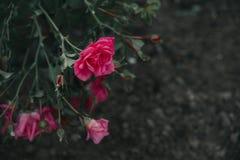 Rose Frame Stock Photos