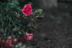 Rose Frame Stock Photo