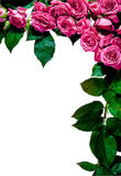 Rose frame, portrait Royalty Free Stock Images