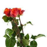 Rose fresche sopra i precedenti isolati bianco Immagini Stock