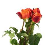 Rose fresche sopra i precedenti isolati bianco Fotografie Stock