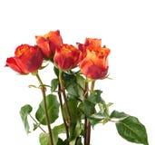 Rose fresche sopra i precedenti isolati bianco Immagine Stock