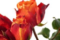 Rose fresche sopra i precedenti isolati bianco Fotografia Stock Libera da Diritti