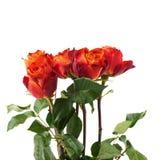 Rose fresche sopra i precedenti isolati bianco Fotografia Stock