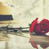 Rose Fresh Bloom Blossom Garden Love Passion Concept Stock Images