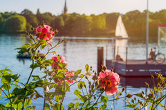 Rose in front of Alster on evening light with white sailboat and pier in background. Chilling atmosphere in Hamburg on Royalty Free Stock Images