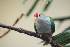 Rose-fronted pigeon Royalty Free Stock Images
