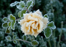 Rose and Frost. Rosa variety Sussex covered in hoar frost during English winter in West Sussex Stock Images