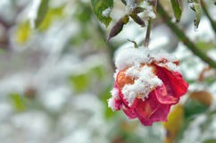 The Rose With Frost Royalty Free Stock Image