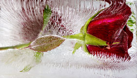 rose frozen in ice Royalty Free Stock Image