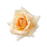 Rose fujisan foreve Royalty Free Stock Photo
