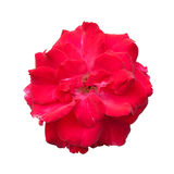 Rose in full bloom Royalty Free Stock Photos