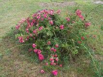 Rose, fuori di, foglie, albero, fine su, erba, erba secca, albero decomposto, ceppo fotografie stock